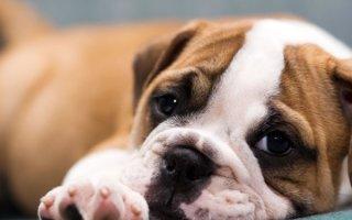 Рейтинг самых дорогих собак, собранный со всего света