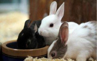 Рацион декоративного кролика: все от А до Я