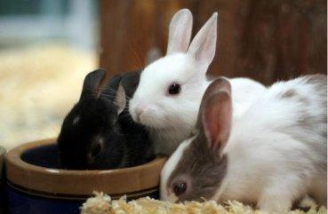 Искусственное кормление новорождённых крольчат. Кролики 56