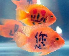 Tattoo на рыбке