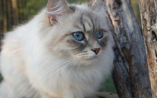 Кошка, закаленная Сибирью