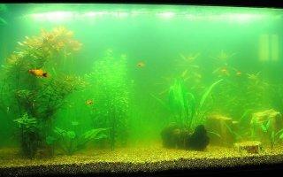 От чего аквариум вдруг позеленел и что с этим сделать?
