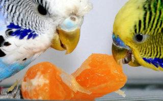 Что должно быть в меню вашего попугая