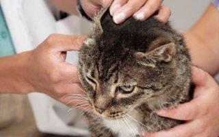 Подкожный клещ (демодекоз) у котов: боремся с недугом правильно