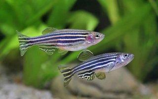 Данио: рыбка-мечта для новичка