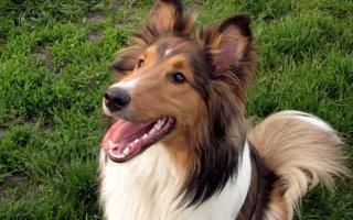 Собака с Шетландских островов – знакомимся с Шелти