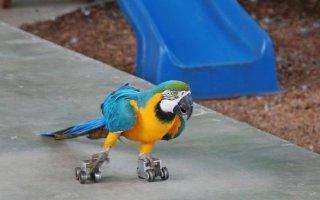 Адаптация, приручение и дрессировка попугаев