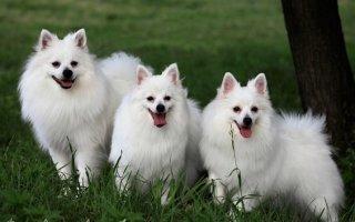 Очей очарованье: забавные и преданные декоративные собаки