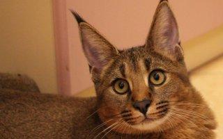 Какая кошка напоминает рысь?