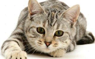 Наследие кельтов: учимся правильно ухаживать за европейской кошкой