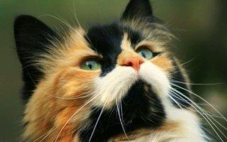 Чем примечательна трехцветная кошка?