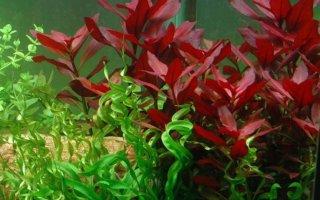 Людвигия – незаменимое растение пресноводного аквариума