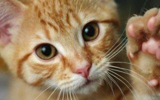 Стоит ли лишать кошку коготков?