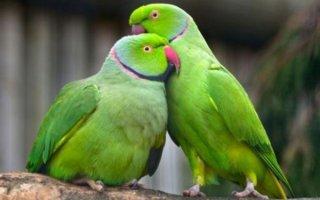 Ожереловый попугай – интеллектуальный питомец