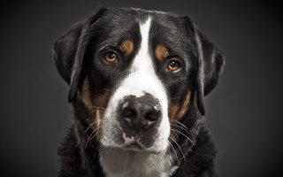 Собака родом из швейцарских Альп – Большой швейцарский зенненхунд