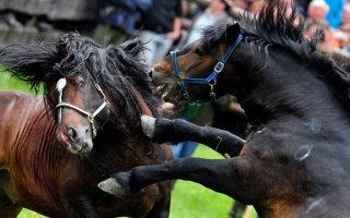Бои лошадей – спорт, бизнес или варварская традиция?
