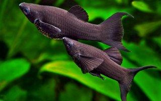 Рыбка в черной вуали или просто черная моллинезия