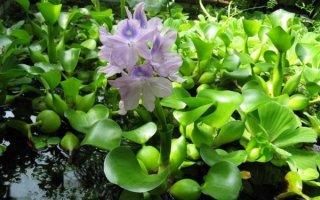Прекрасное растение – водный гиацинт