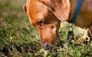 Если у вас «собака-пылесос»: эффективная борьба с копрофагией у питомца