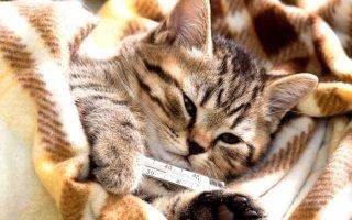 Измеряем коту или кошке температуру без царапин