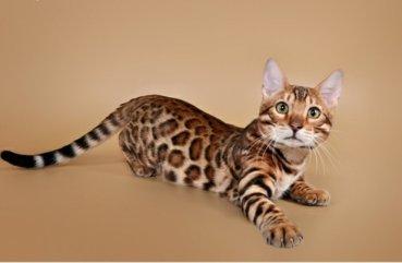Бенгальская кошка – фото, описание характера бенгала и ... | 241x369