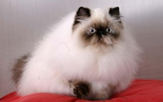 Кто такие Гималайские кошки?