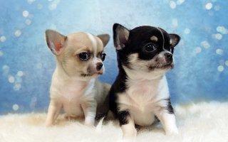 Как выбрать щенка Чихуахуа?