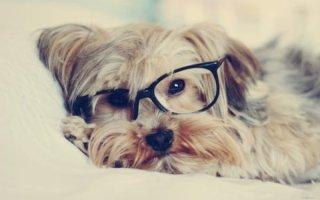 Конъюнктивит у собаки – серьезный повод насторожиться владельцу