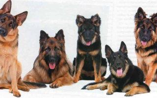 Немецкая овчарка – умная служебная собака с благородной внешностью