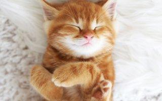 Выбираем породистого рыжего котенка