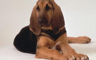 Умная собака с идеальными манерами – порода Бладхаунд
