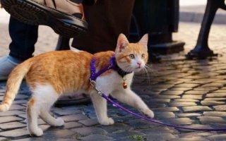Как выбрать поводок для кошек?
