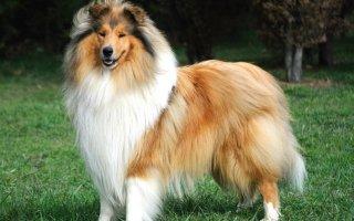 Древнейший пастух среди собак – Шотландская овчарка