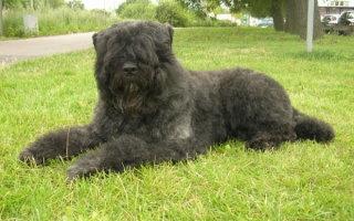 Особенная собака не для всех – знакомимся с породой Фландрский бувье