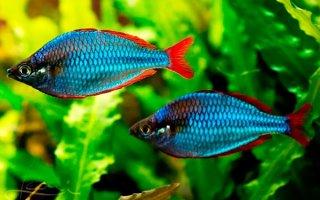 Цветовое буйство в аквариуме или все о рыбках радужницах