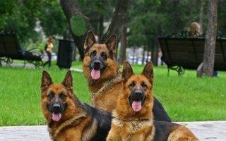 Клички для собак-мальчиков немецких овчарок: правила выбора