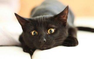 Чем примечательны черные кошки?