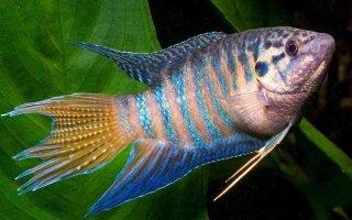 Макроподы – первые тропические обитатели аквариумов