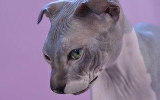 Кошка с национальным колоритом: Украинский Левкой