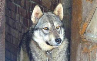 Удивительный гибрид животного мира — собака Сулимова