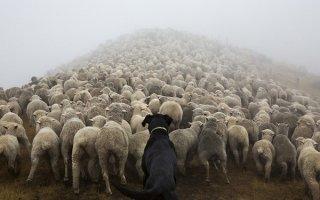 ТОП-5 лучших пород пастушьих собак