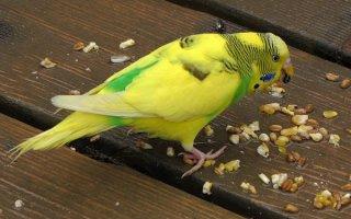 Здоровый попугай – счастье самого пернатого и его владельца
