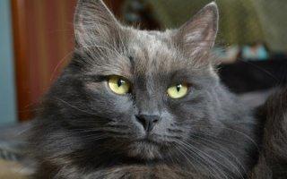 Нефротический синдром у кошек: разбираем случай гибели Нибелунга
