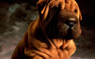 Римадил – если собака болеет