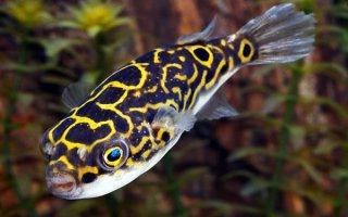 Рыбки-шарики в аквариуме: все о тетрадонах