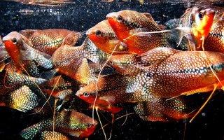 Жемчужный гурами – рыбка удивительной красоты