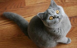 Британская голубая красавица – все особенности породы и повадки