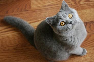 порода кошек британская голубая фото