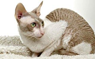 Котики необыкновенной красоты: характеристика вида немецкий рекс