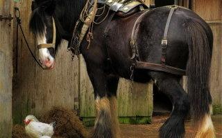 Тяжеловозы – богатыри в мире лошадей